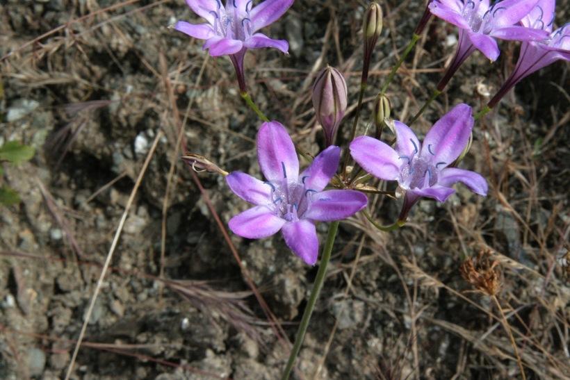 Githopsis pulchella ssp. serpentinicola