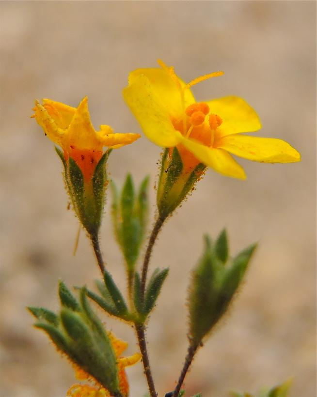 Leptosiphon aureus ssp. aureus