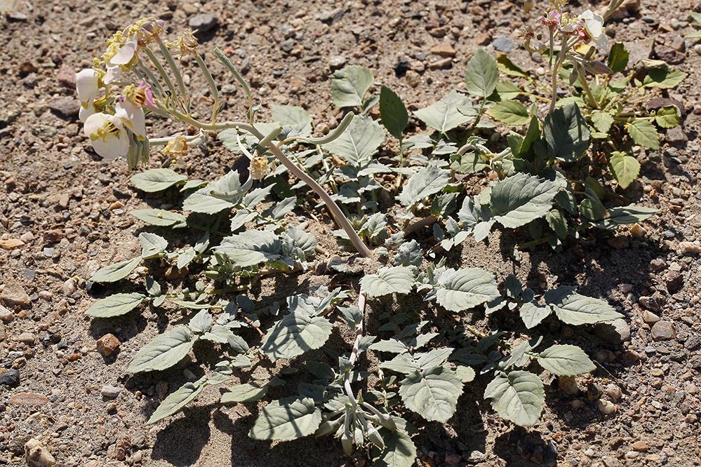 Chylismia claviformis ssp. funerea