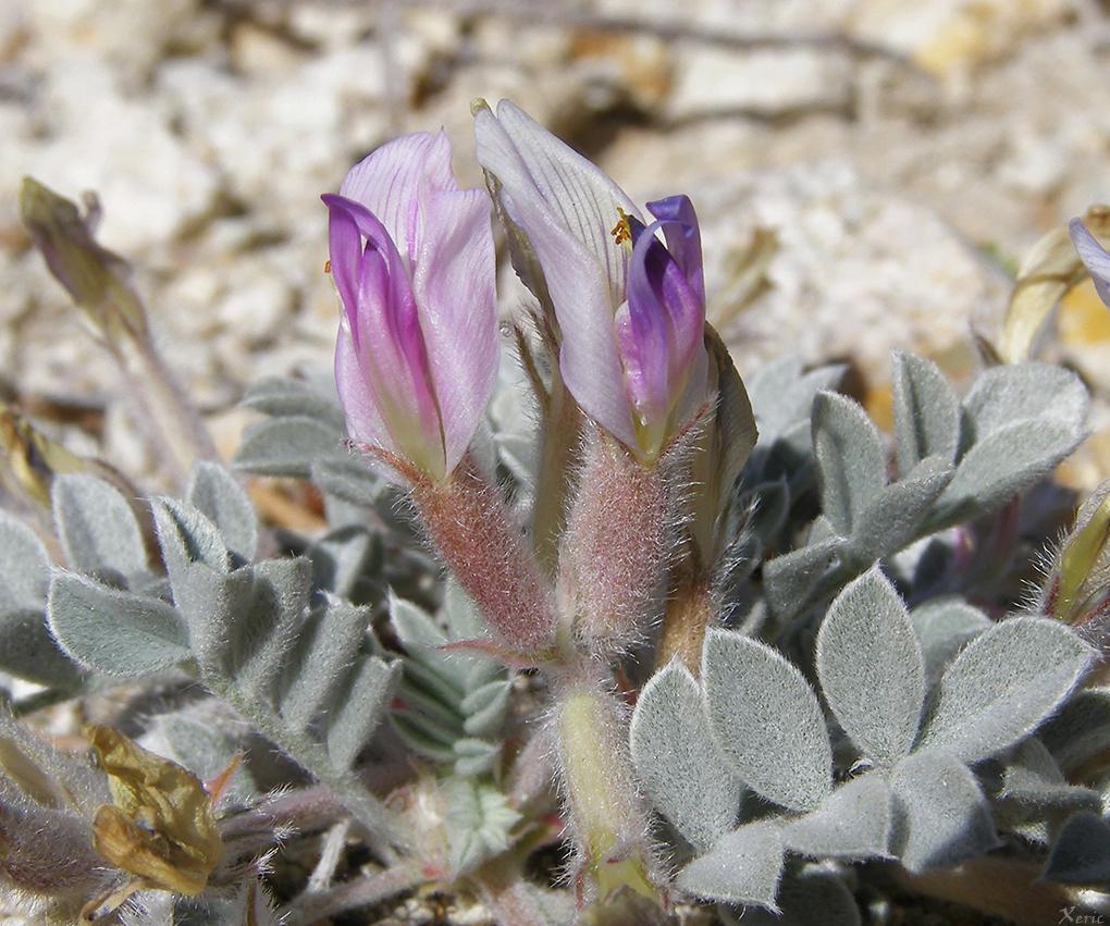 Astragalus newberryi var. castoreus