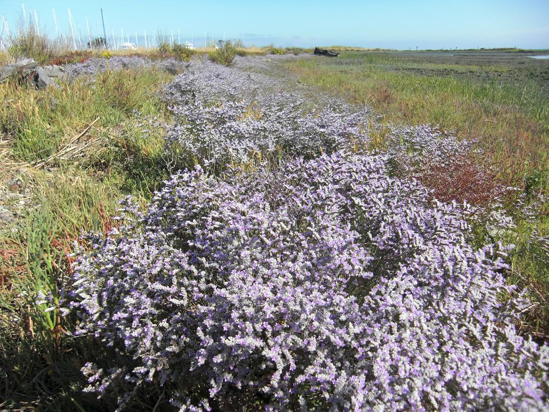 Limonium ramosissimum ssp. provinciale