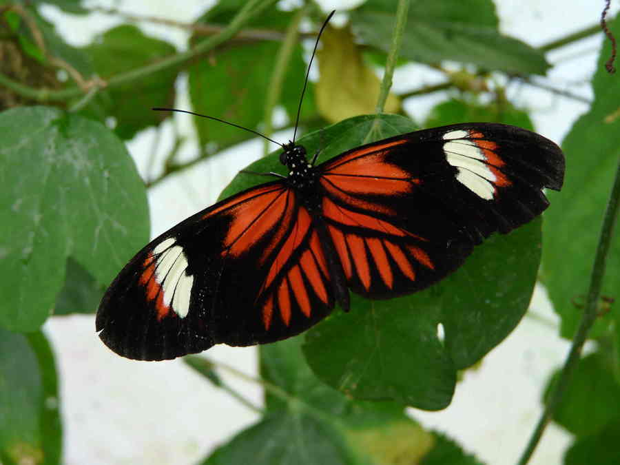 Image result for heliconius melpomene