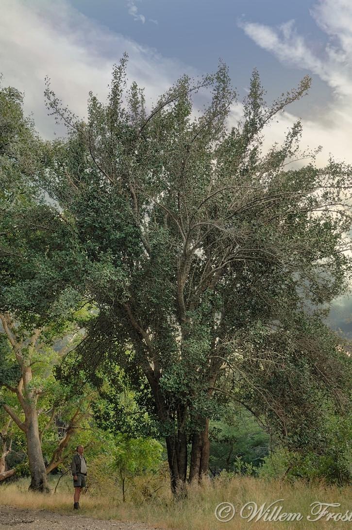 Calphotos Garcinia Livingstonei African Mangosteen