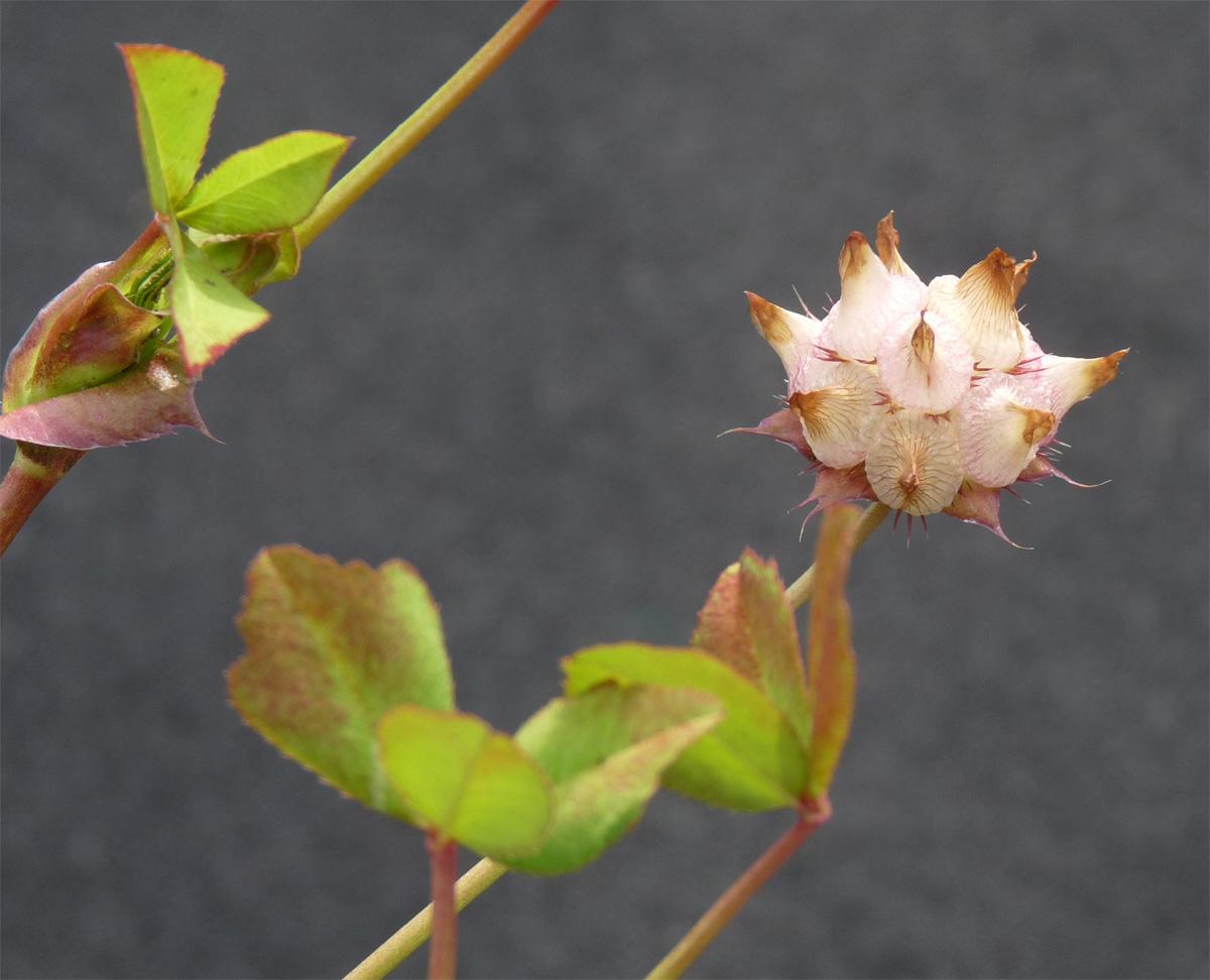 Trifolium piorkowskii
