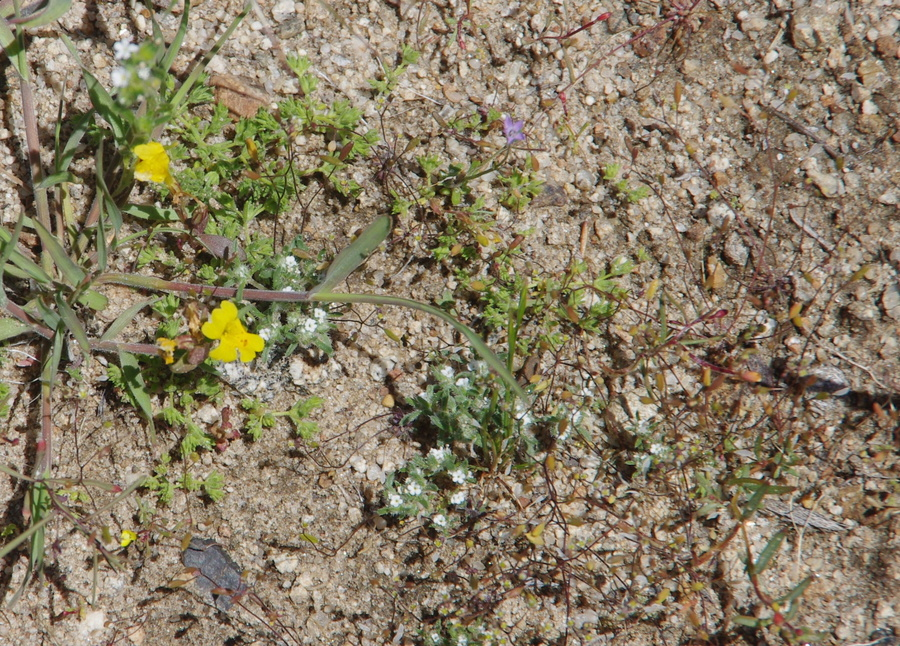 Loeflingia squarrosa var. artemisiarum