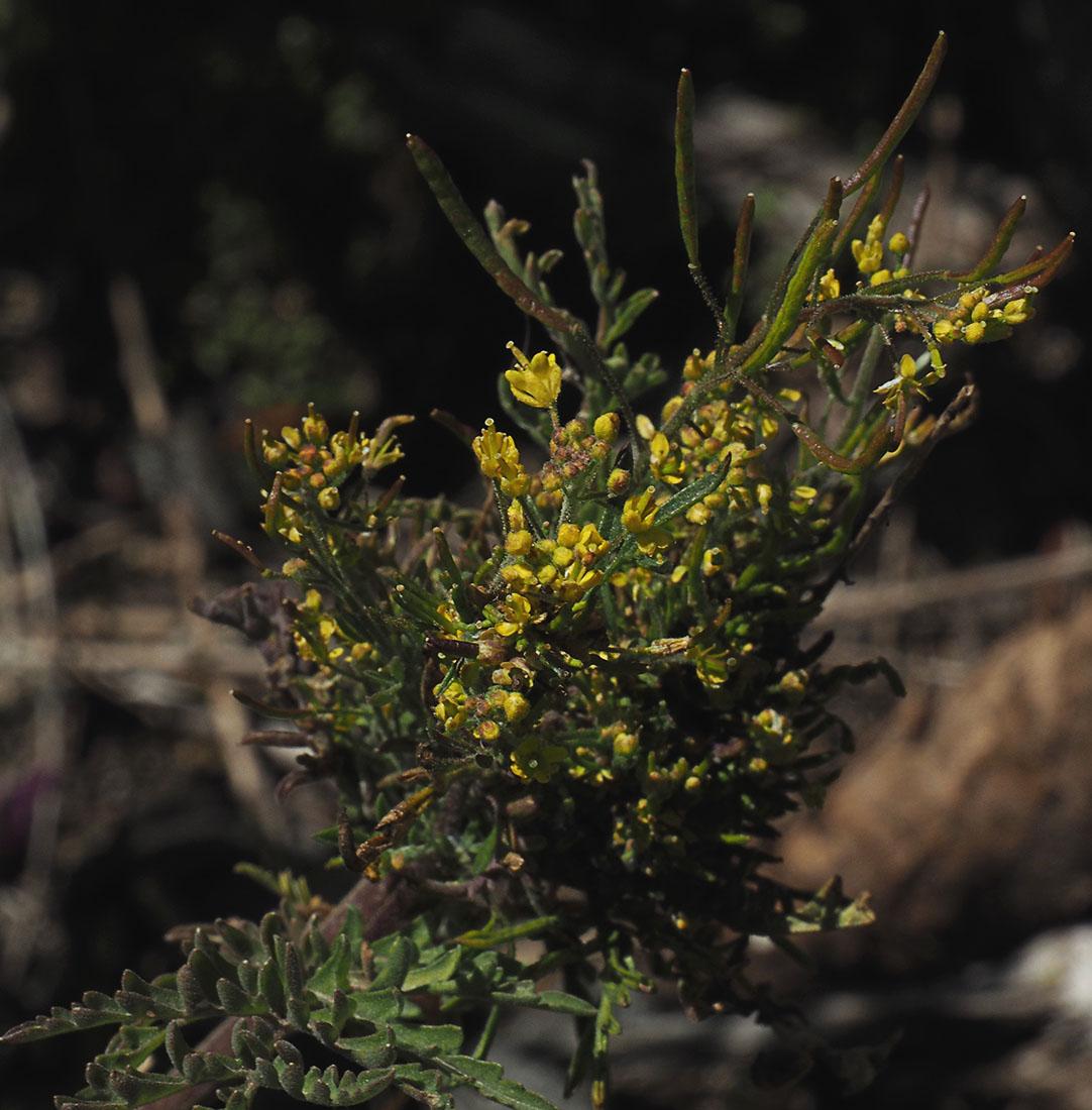 Descurainia incisa ssp. incisa