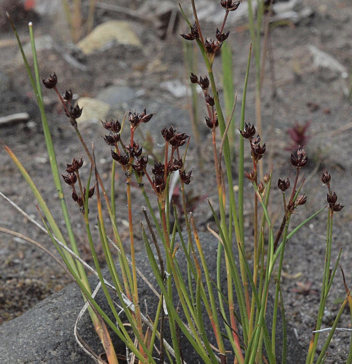 Juncus articulatus ssp. articulatus