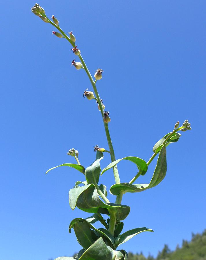 Streptanthus medeirosii