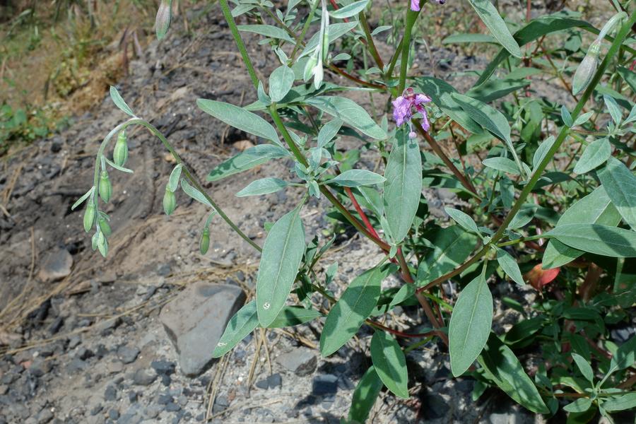 Clarkia mosquinii