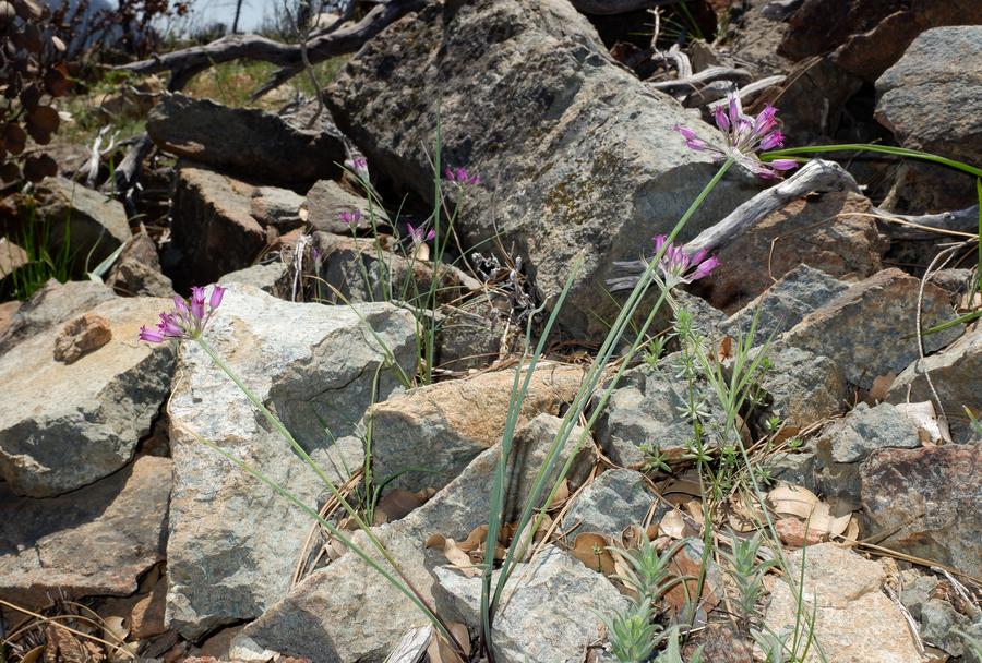 Allium peninsulare var. peninsulare