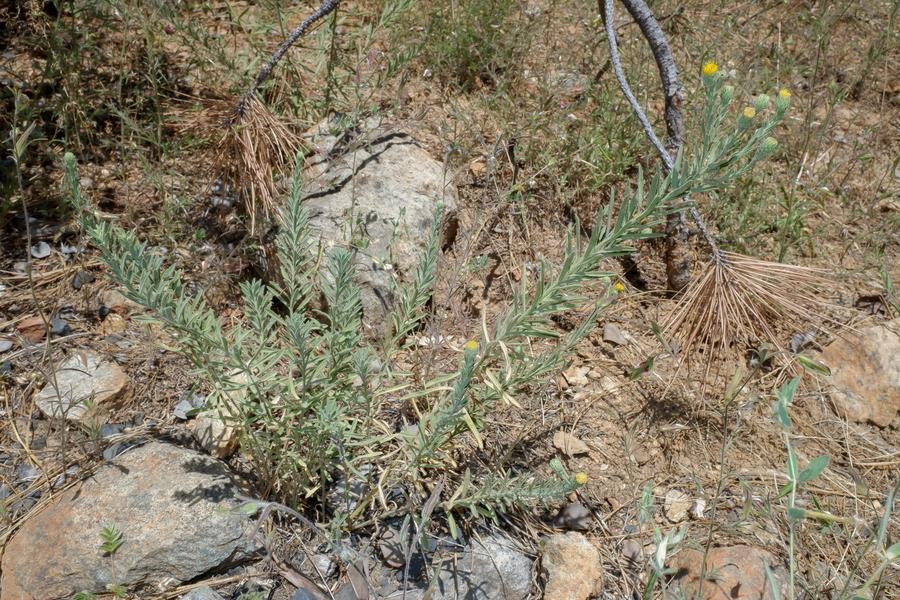 Erigeron petrophilus var. sierrensis