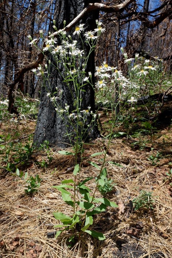 Eurybia radulina
