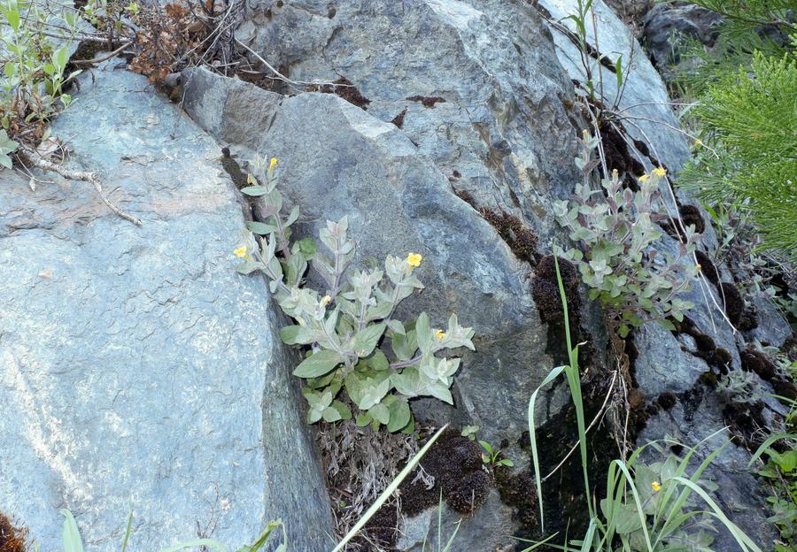 Erythranthe willisii