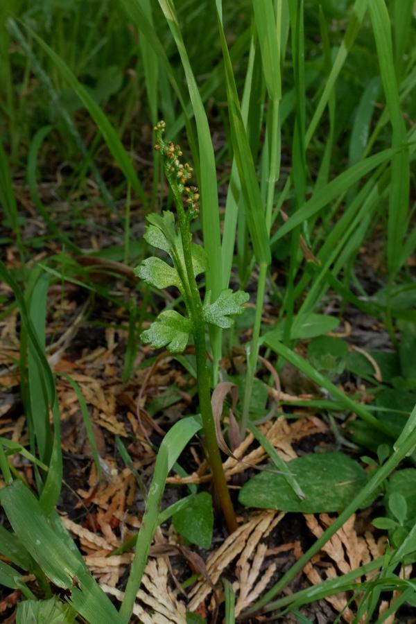 Botrychium pinnatum