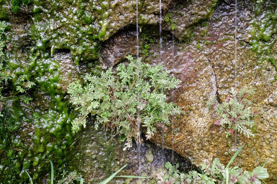 Erythranthe filicifolia