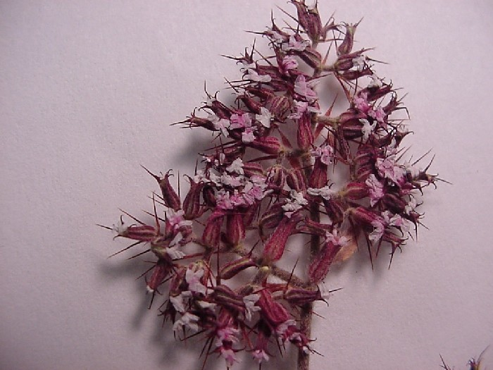 Chorizanthe rectispina