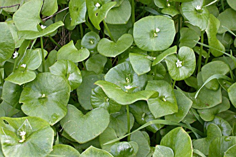 Claytonia perfoliata ssp. mexicana