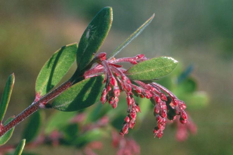 Arctostaphylos densiflora