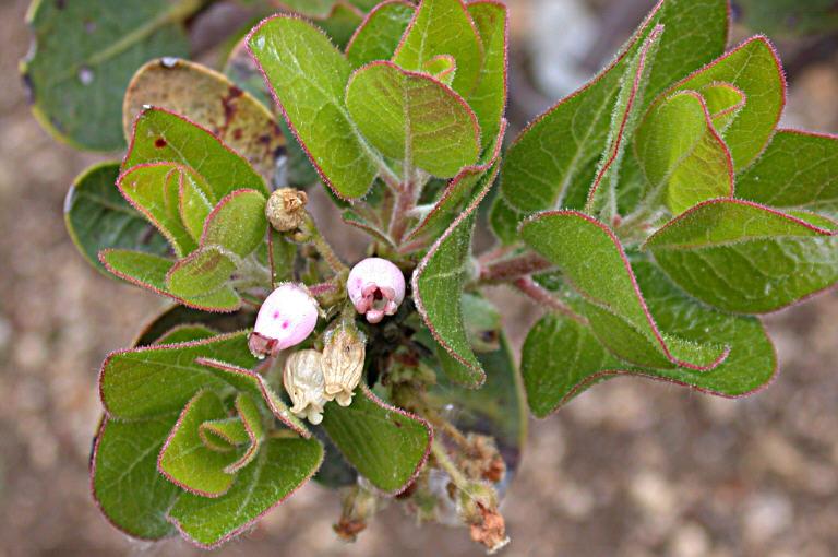 Arctostaphylos confertiflora image