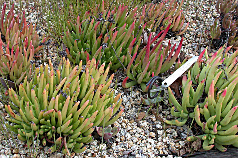Image of Dudleya viscida