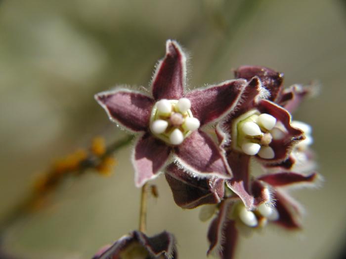 Sarcostemma cynanchoides ssp. hartwegii