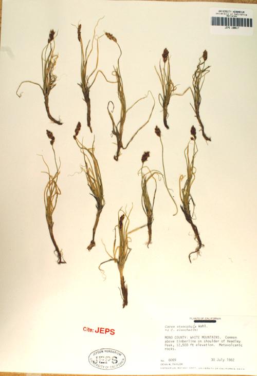 Carex eleocharis