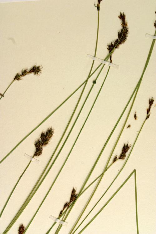 Carex gracilior