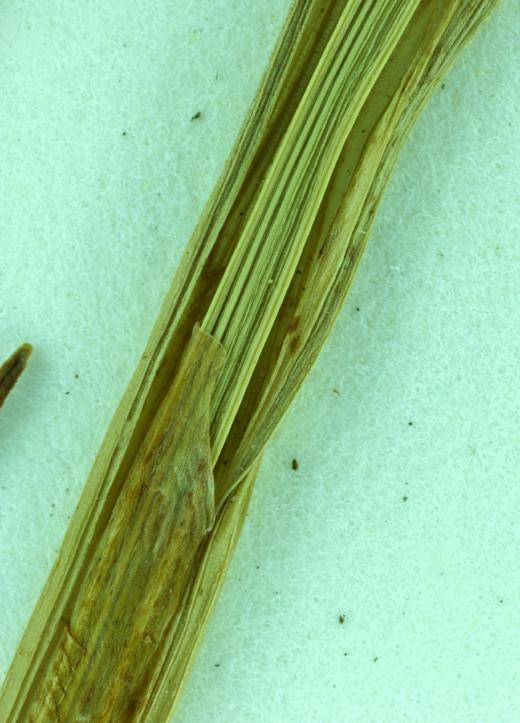 Carex hendersonii