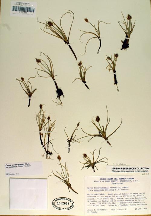 Carex incurviformis var. danaensis