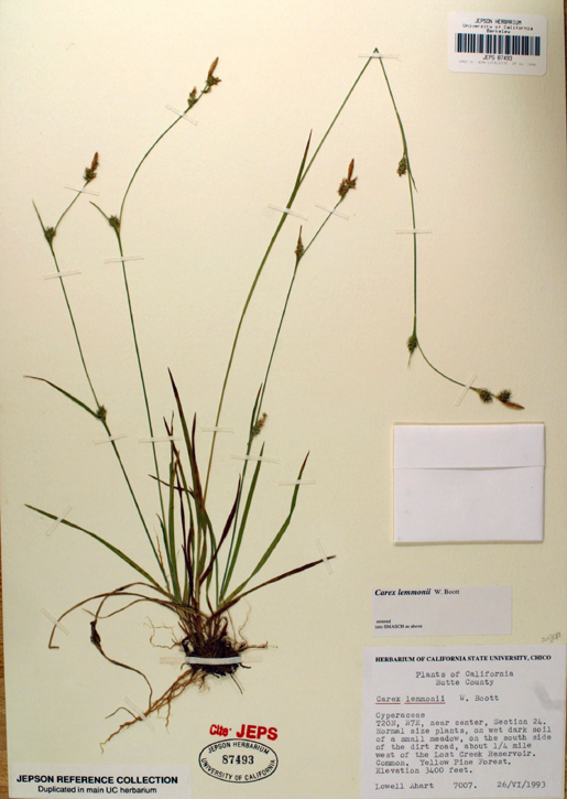 Carex lemmonii