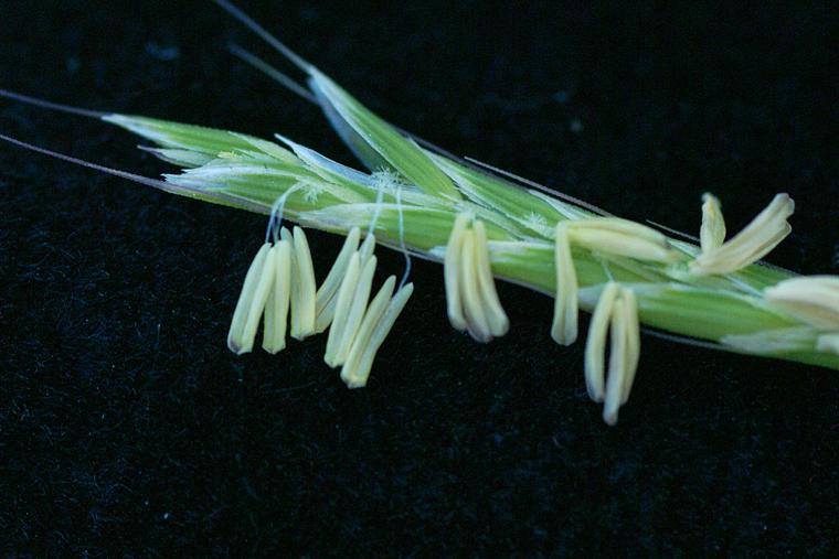Pleuropogon californicus