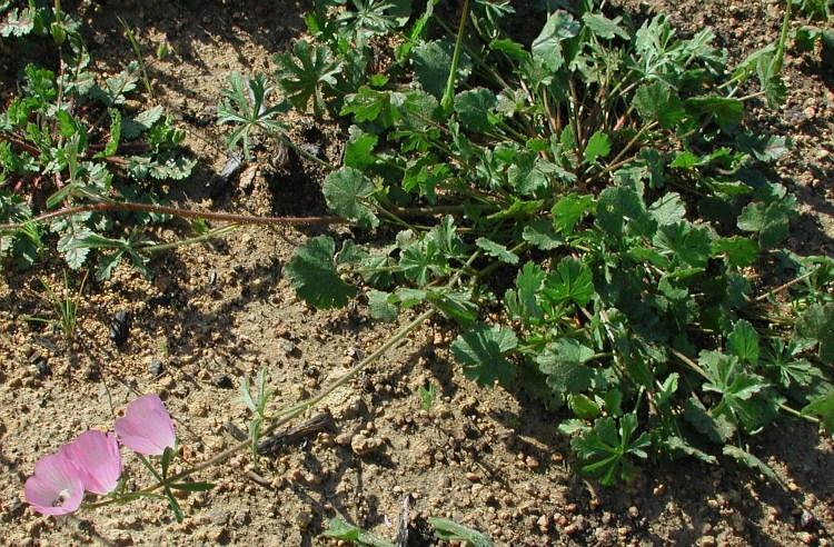 Sidalcea malviflora ssp. sparsifolia
