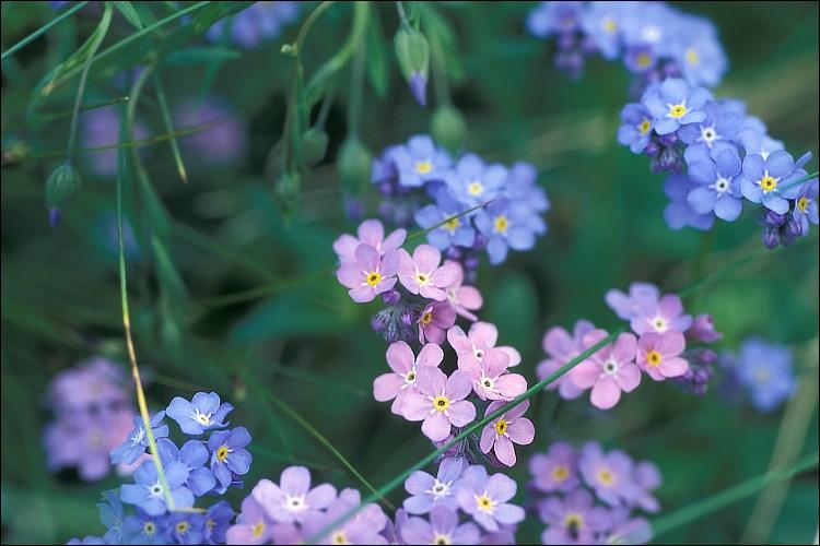Myosotis Alpestris Blue Forget Me Not Seed