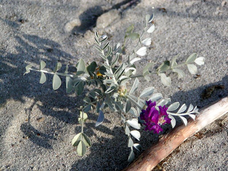 Astragalus lentiginosus var. coachellae