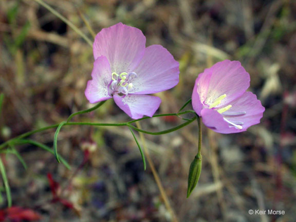 Clarkia cylindrica ssp. cylindrica