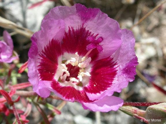 Clarkia speciosa ssp. speciosa