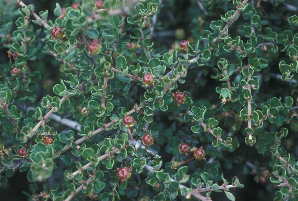 Ceanothus cuneatus var. ramulosus