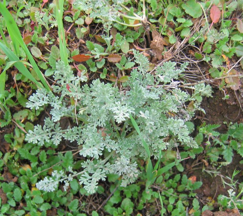 Ambrosia pumila