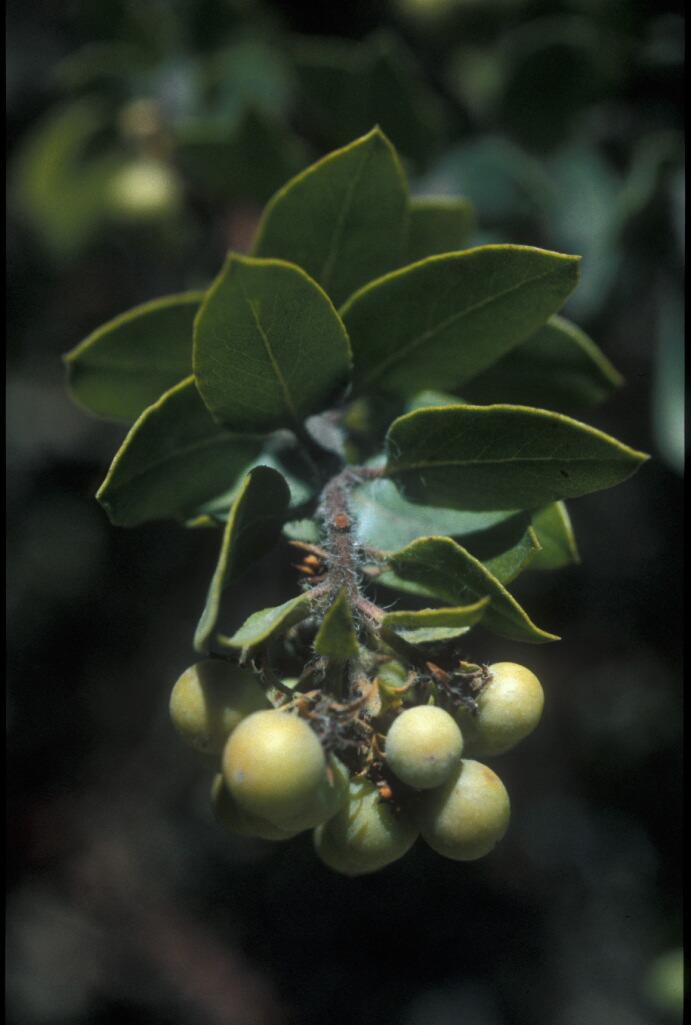 Arctostaphylos viridissima