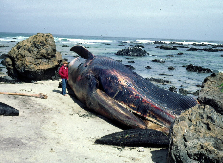 beached giant squid