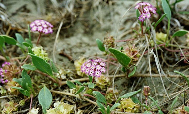 Calphotos Abronia Umbellata Var Breviflora Pink Sand Verbena
