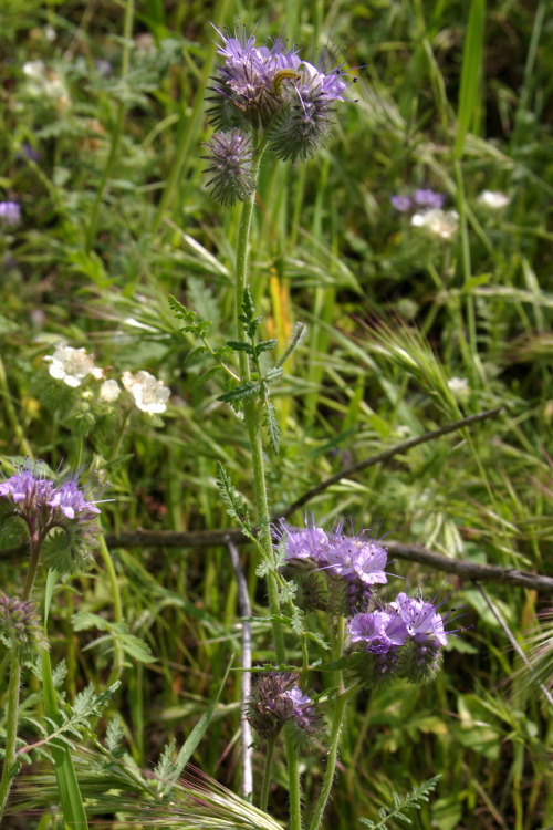 Phacelia ramosissima var. subglabra