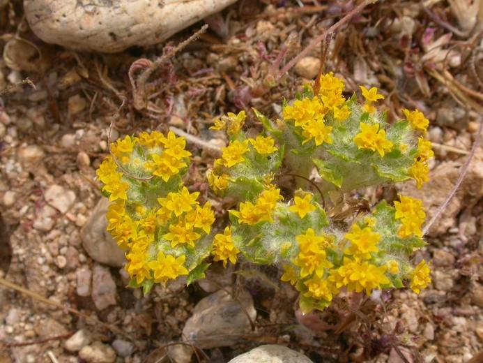 Eriophyllum mohavense