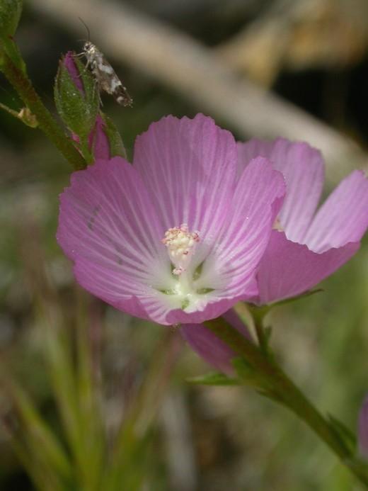 Sidalcea neomexicana