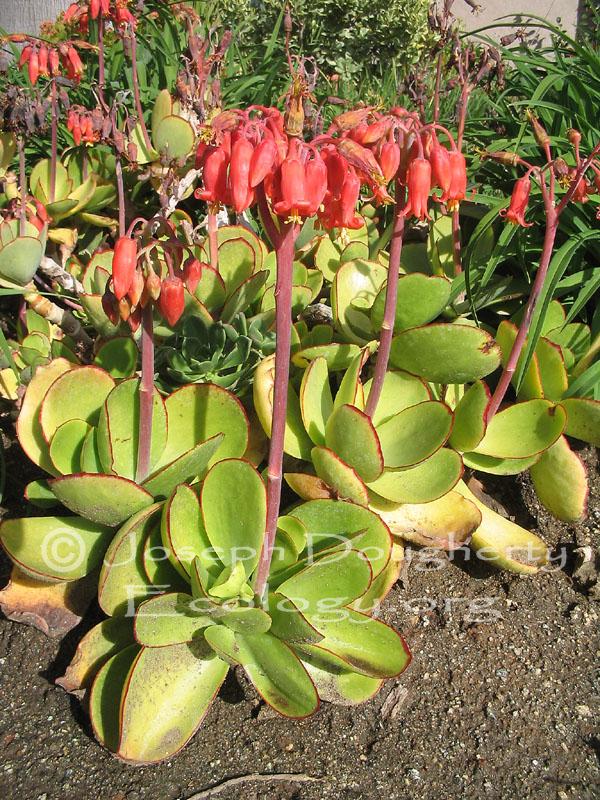 Cotyledon orbiculata var. oblonga