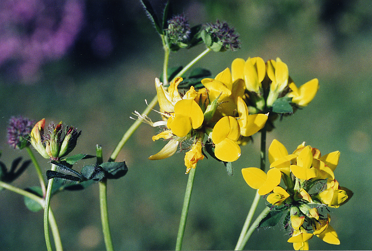 Lotus uliginosus