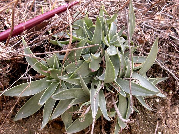 Dudleya lanceolata