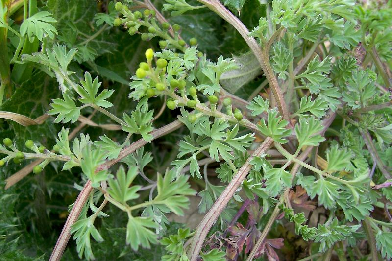 Papaveraceae image