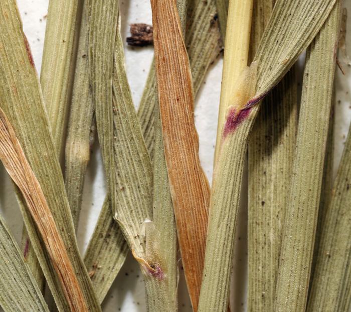 Calamagrostis koelerioides