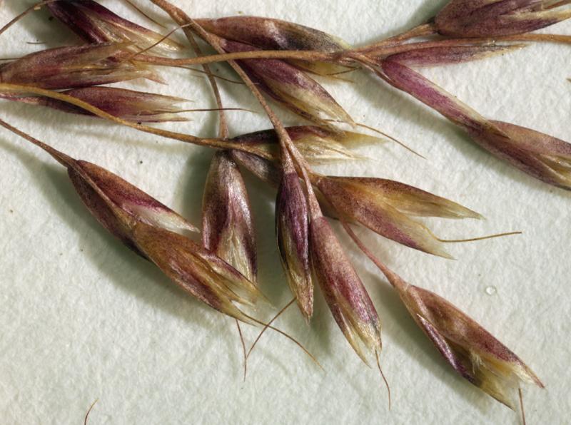 Calamagrostis breweri